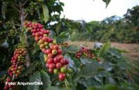 Preços do café e açúcar em alta. Milho em queda, nesta sexta-feira (15)