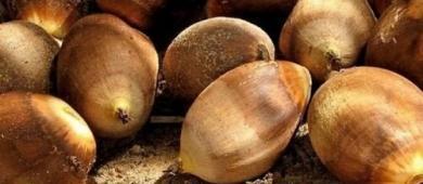 Valor da produção de amêndoa de babaçu cresce 25% em 2020