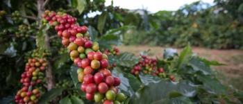 Preços do café e açúcar em alta. Milho em queda, nesta quinta-feira (21)