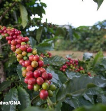 Café arábica registra redução no preço, nesta terça-feira (8)