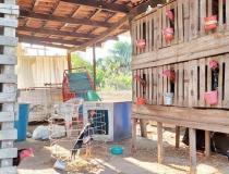 Polícia Civil desarticula local que era utilizado como rinha de brigas de galo no norte do Tocantins