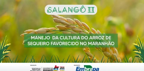 Embrapa Cocais e Sagrima realizam dia de campo virtual sobre manejo da cultura do arroz