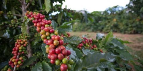 Preços do café e açúcar em queda. Milho em alta nesta quarta-feira (28)
