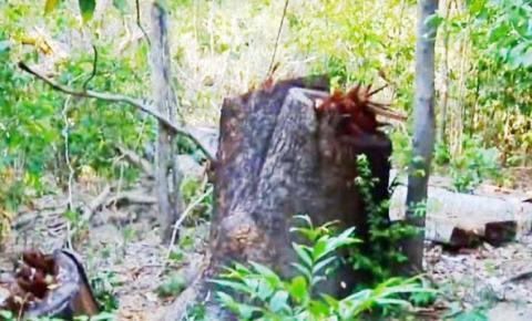 Madeireiros invadem Ilha do Bananal e cortam árvores centenárias